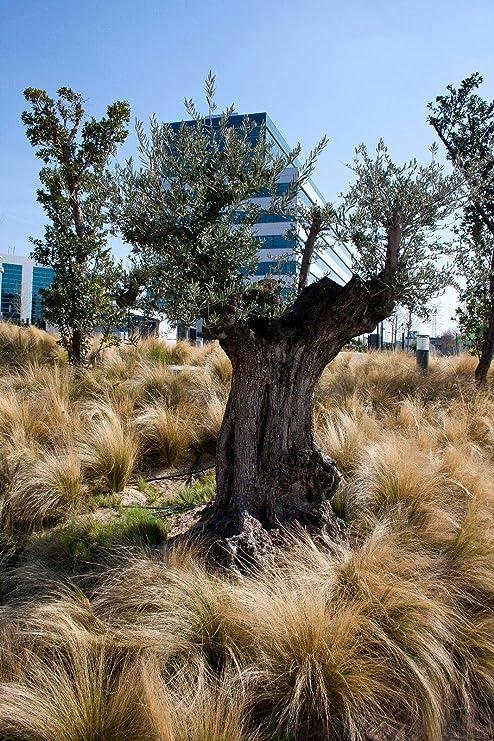 Amazon.com: Olea europaea silvestris (árbol de oliva ...