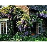 Dominik Blumen und Pflanzen, Blauregen, Wisteria sinensis, veredelt, 1 Pflanze,  ca. 30 cm hoch,  1,2 Liter Container, plus 1 Paar Handschuhe gratis