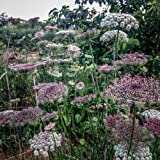 All Good Things Organic Seeds Dara Queen Anne's Lace Flower Seeds (~400)