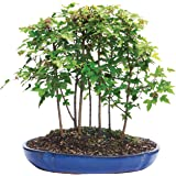 Brussel's Trident Maple Forest 7 Tree  Bonsai - X Large - (Outdoor)