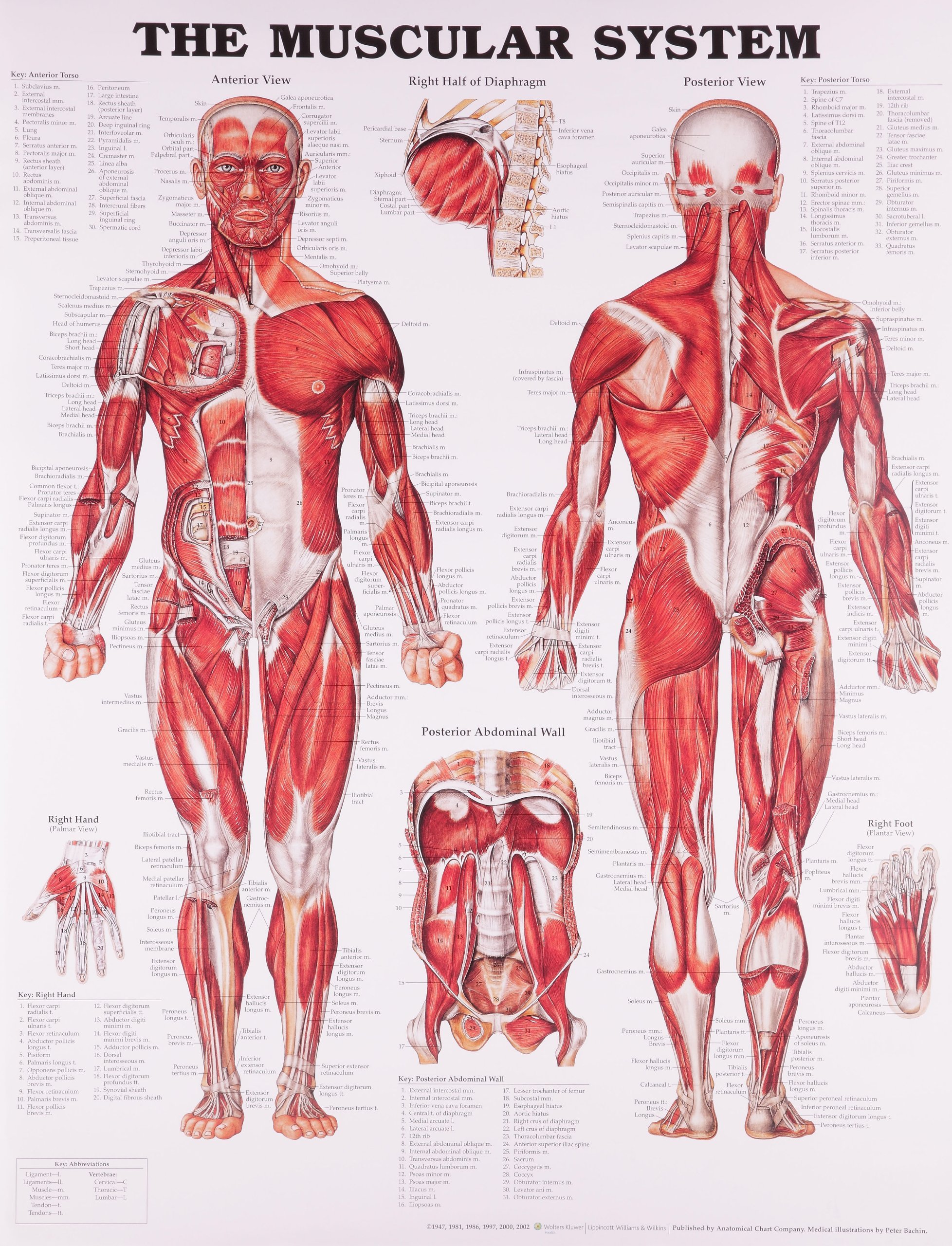 The Muscular System Anatomical Chart Anatomical Chart Company