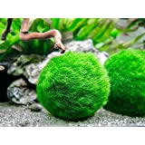 Aquatic Arts 3 Betta Fish Balls - Live Marimo Aquarium Plants for Fish Tanks - Natural Toy Accessories for Betta Fish…
