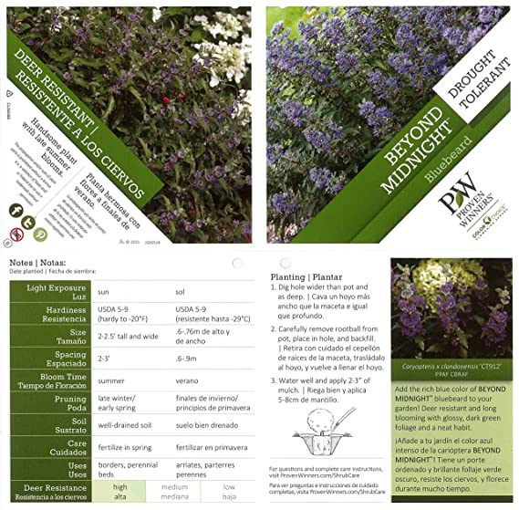 Amazon.com : Beyond Midnight Bluebeard (Caryopteris) Live Shrub, Blue Flowers and Glossy Green Foliage, 4.5 in. Quart : Garden & Outdoor