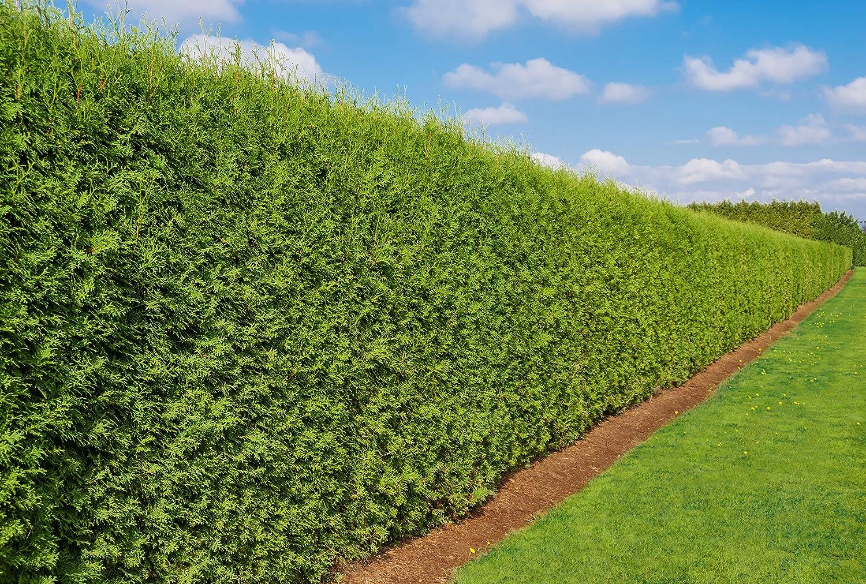Heckenpflanze Thuja occidentalis Brabant Pflanzhöhe 80 100cm
