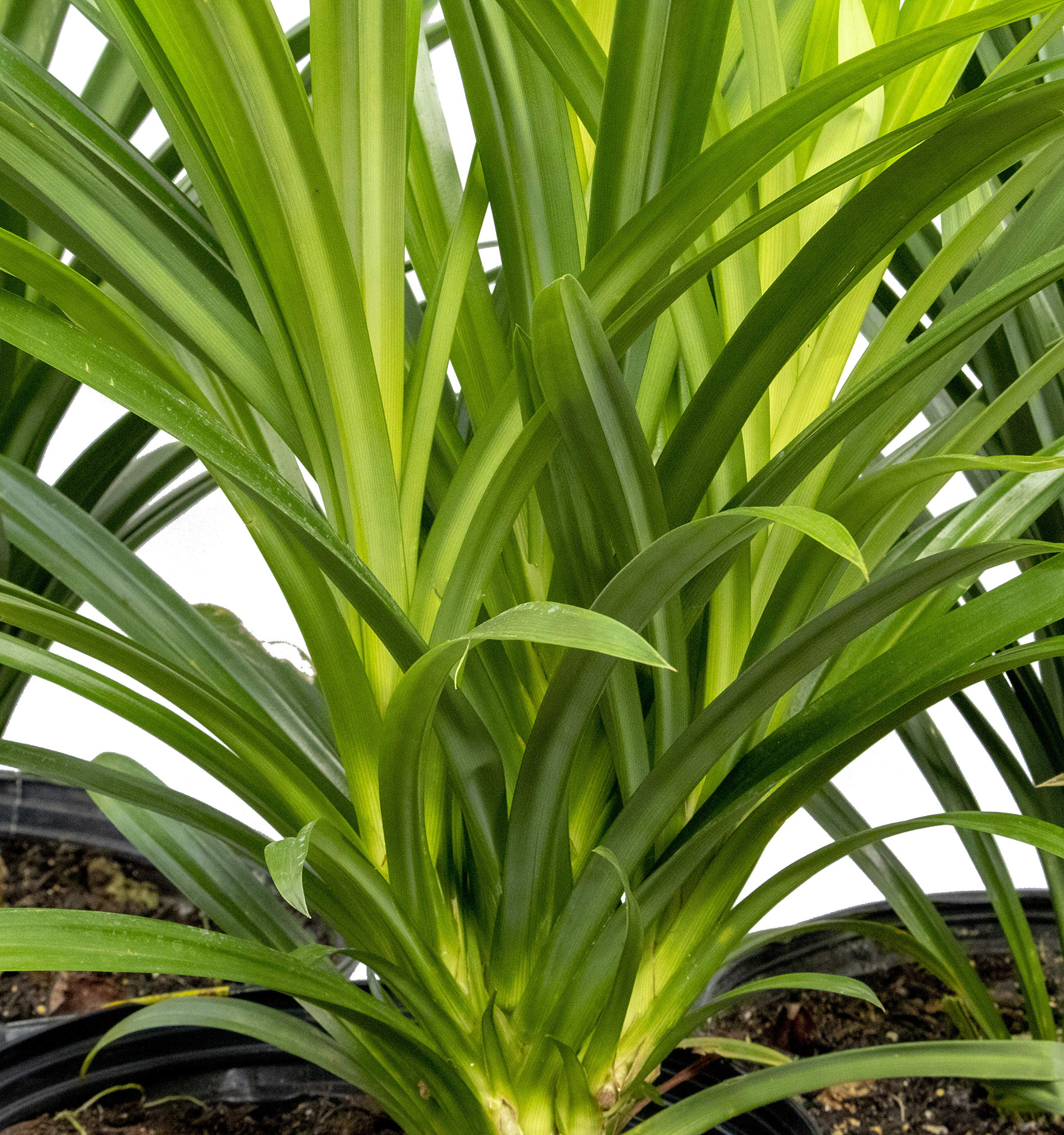 Fragrant Spice Pandan Size Small 6 to 12 INCHES Tall Live Plant, Pandanus amaryllifolius, La Dua, See Our Guarantee Below Before Ordering