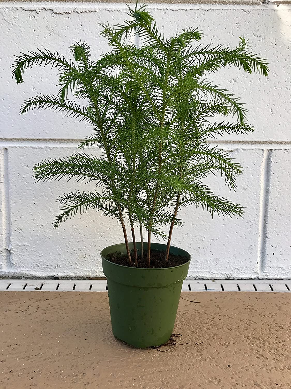 Amazon.com: 3 ft. Tabletop Premium-grade Real Christmas Tree ...