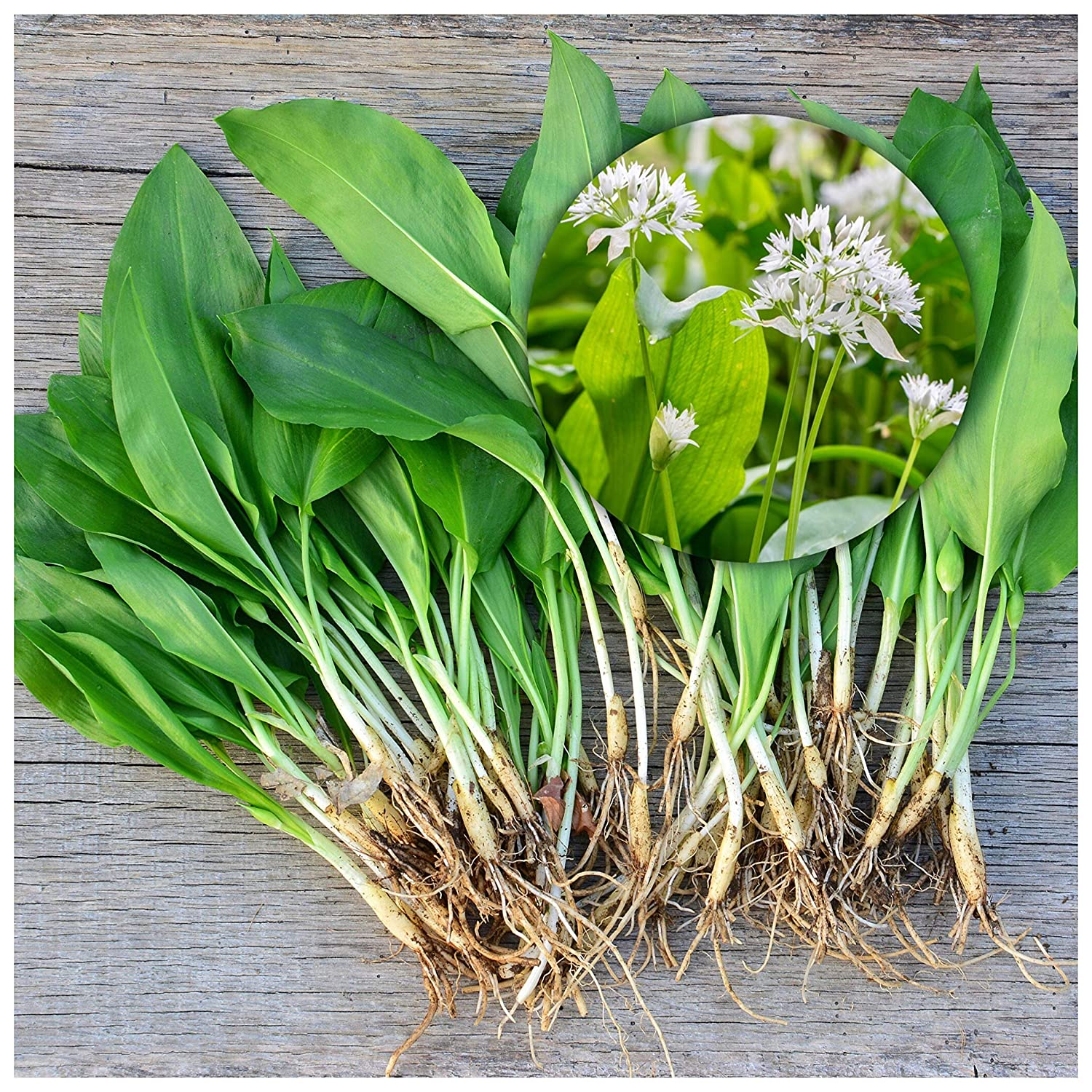 25 Wild Garlic Bulbs (Allium Ursinum) Top Quality Freshly-Lifted Large Bulbs, Spring Flowering Bulbs Native Wild Garlic Ready to Plant (Free UK P&P) Plant with Snowdrops & Bluebells Woodland bulbs
