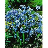 100 Scilla Siberica Blausternchen in Blau Blumenzwiebeln