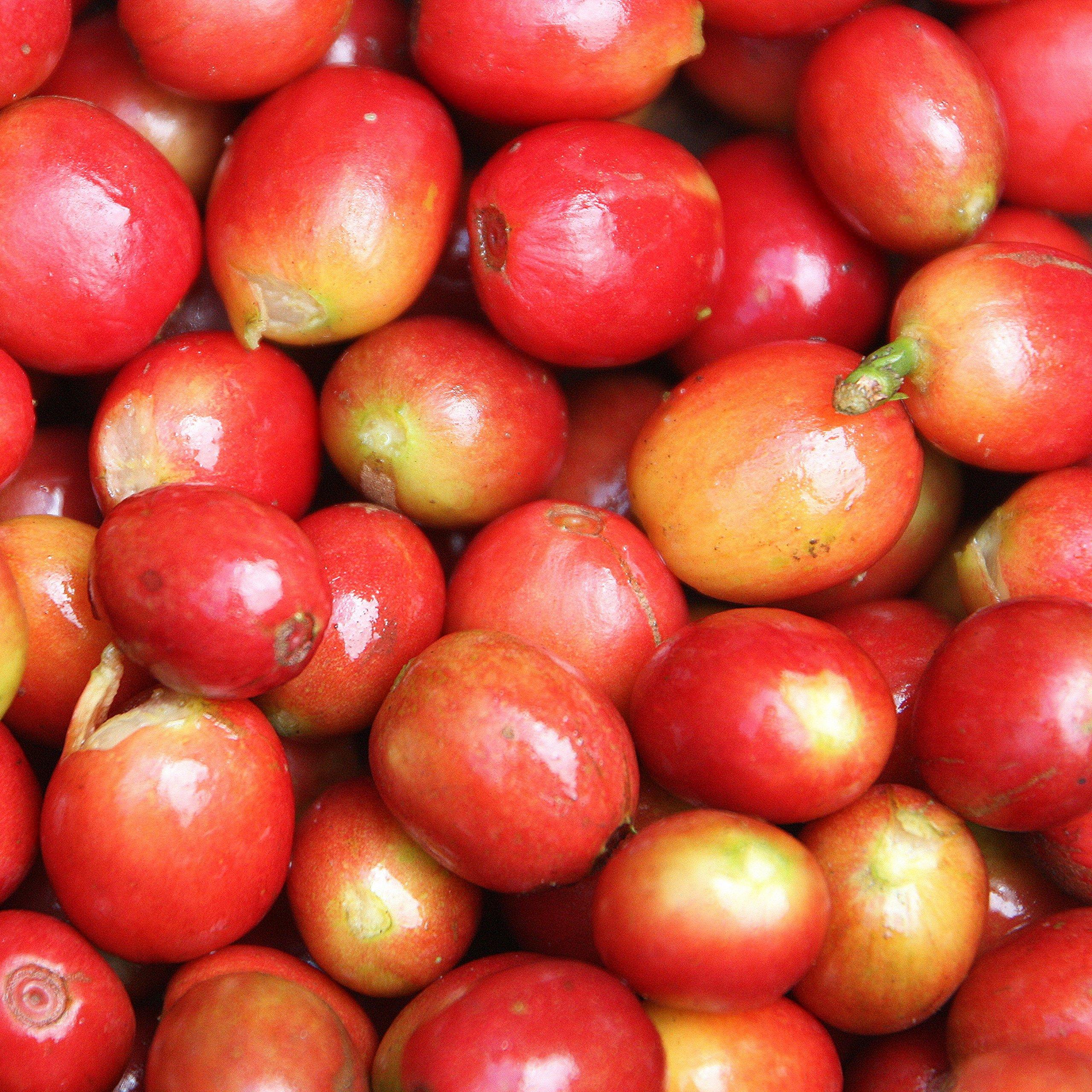 Brazil Decaf (5 LB) Unroasted Green Coffee - Specialty Grade - 100% Arabica Raw Decaffeinated Beans - Bulk Bag Size by Bodhi Leaf Trading Company