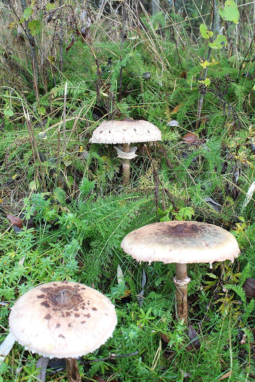 Parasol, fertige BIO Gartenkultur, Pilze im Garten selber züchten