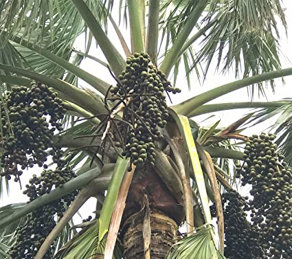 10 Silver Bismark Palm Tree Seeds (Bismarckia Nobilis) Freshly Harvested