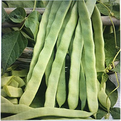"30 Beans Organic HELDA Romano Pole Bean (CDK) Seeds; 9"" Flat Meaty pods; 30 Beans to 3-oz; French Heirloom; Hilda : Garden & Outdoor"