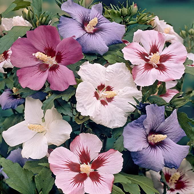 Hardy Exotic Hibiscus Bare Root Bushes Pack Of 5