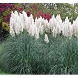 Outsidepride Pampas Grass Seeds White - 5000 Seeds
