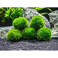 Aquatic Arts 5 Marimo Moss Balls - Small/Nano Aquarium Ball Set. Unique Decor for Aquariums and Glass Jar Terrarium Kits. Natural Habitat/for Live Fish, Pet Shrimp, Sea Monkeys, and More
