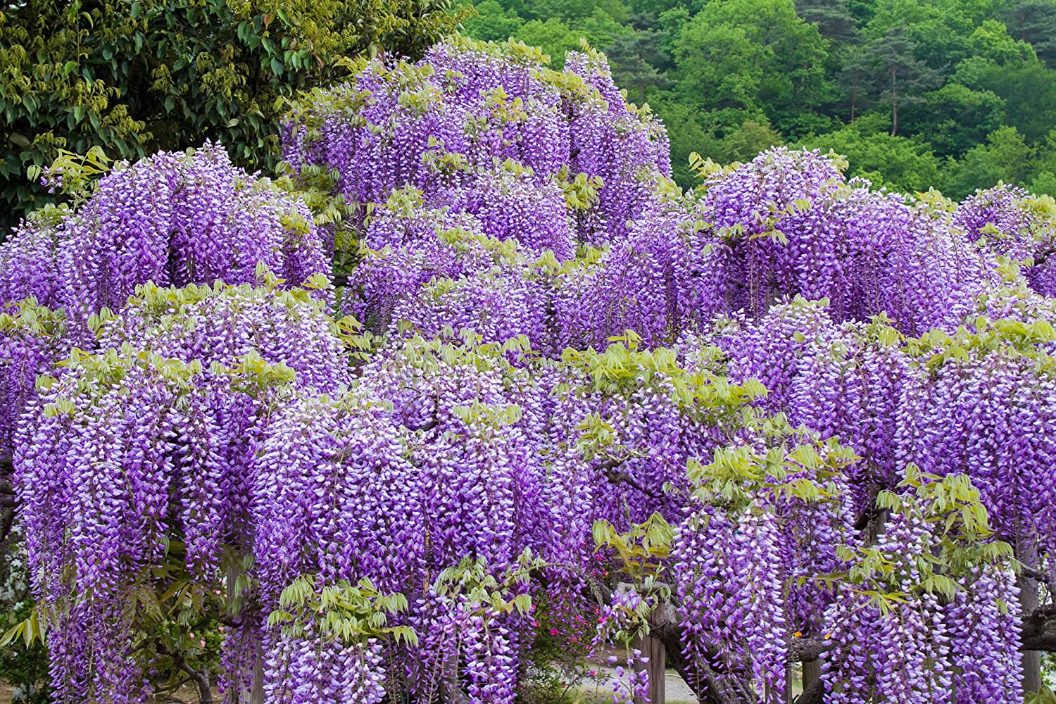 Amazon Com Wisteria Sinensis 7 Seeds Profusion Of Hanging