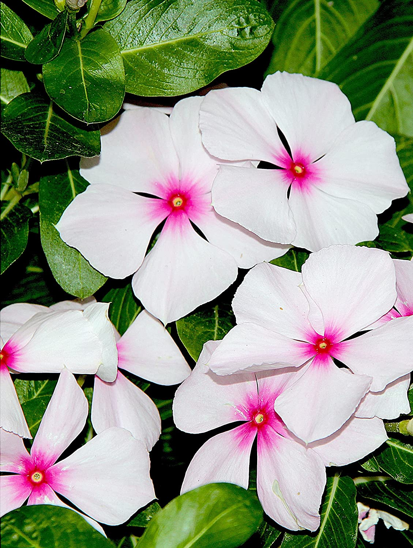 Amazon 100 Bright Eyes Periwinkle Vinca Rosea Dwarf White