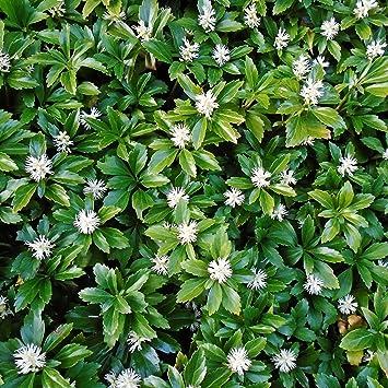 Dominik Blumen Und Pflanzen Dickmannchen Japanischer Ysander