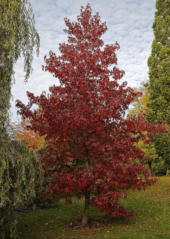 Medium Tree Seedling The Jonsteen Company Red Maple