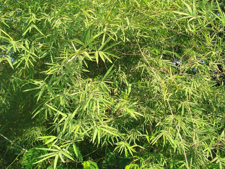 bamb/ú Asklepios-seeds/® 100 Semillas Dendrocalamus strictus Dendrocalamus