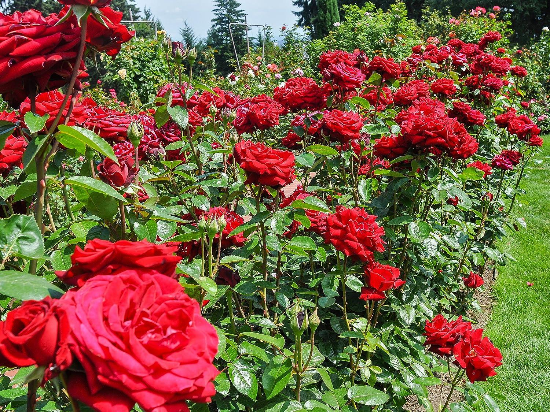 'Ingrid Bergman' Hybrid Tea Rose 3fatpigs® beechwoodtrees 3fatpigs®