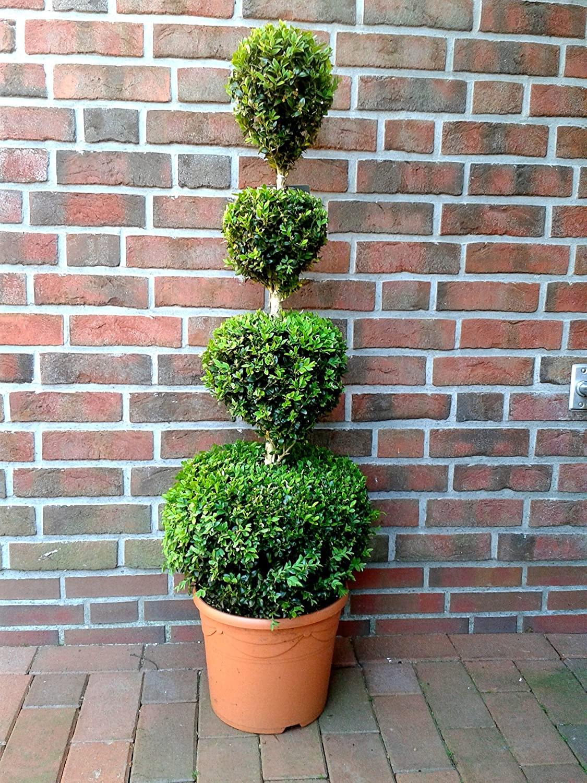 Buchsbaum 4er Kugel Formschnitt Bonsai H/öhe: 110-120 cm Buxus sempervirens D/ünger