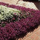 Outsidepride Alyssum Deep Purple Groundcover Seed - 2000 Seeds
