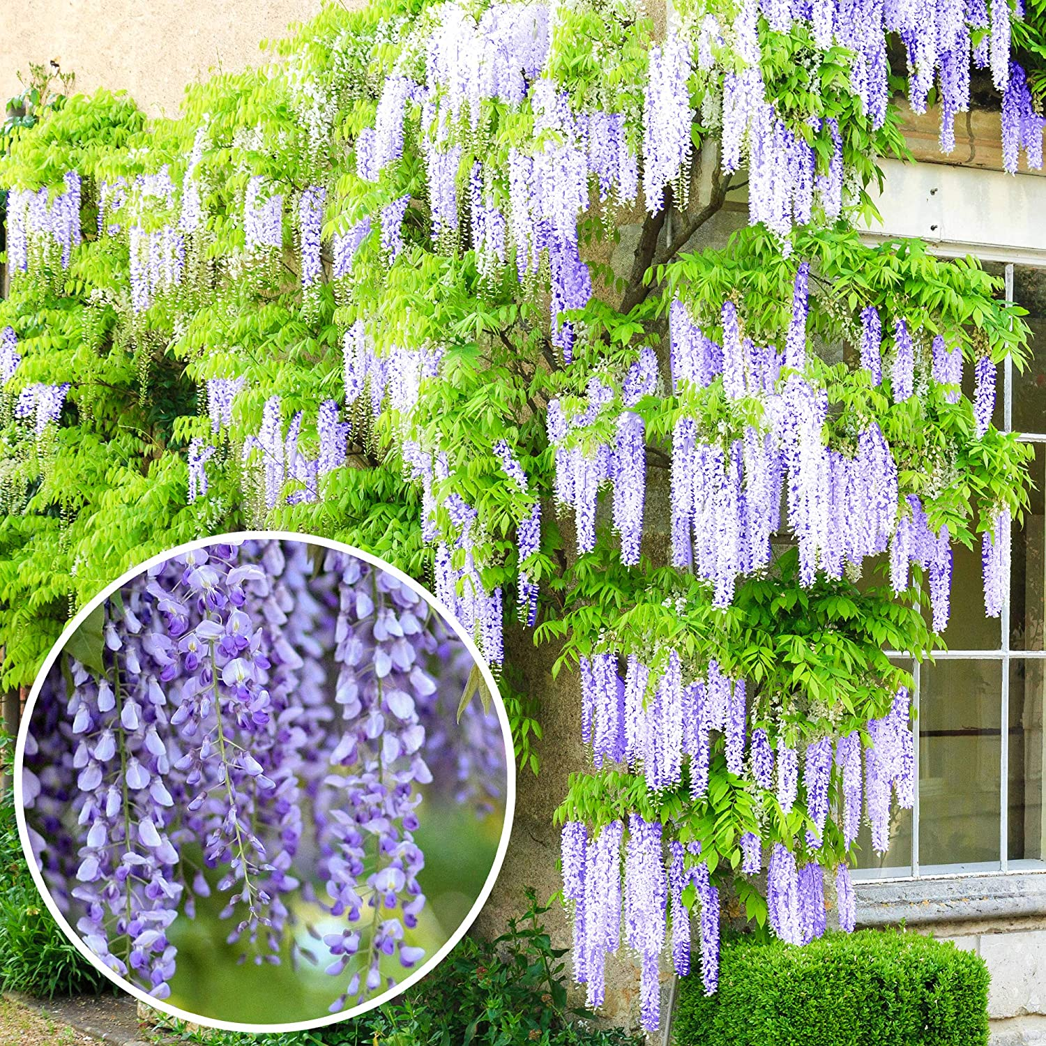 Wisteria Sinensis Blue Flowering Deciduous Hardy Climbing Garden Shrub Plant 9cm 20 30cm Amazon Co Uk Garden Outdoors