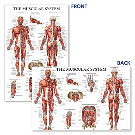 Amazon.com: Palace Learning Muscular & Skeletal System Anatomical ...