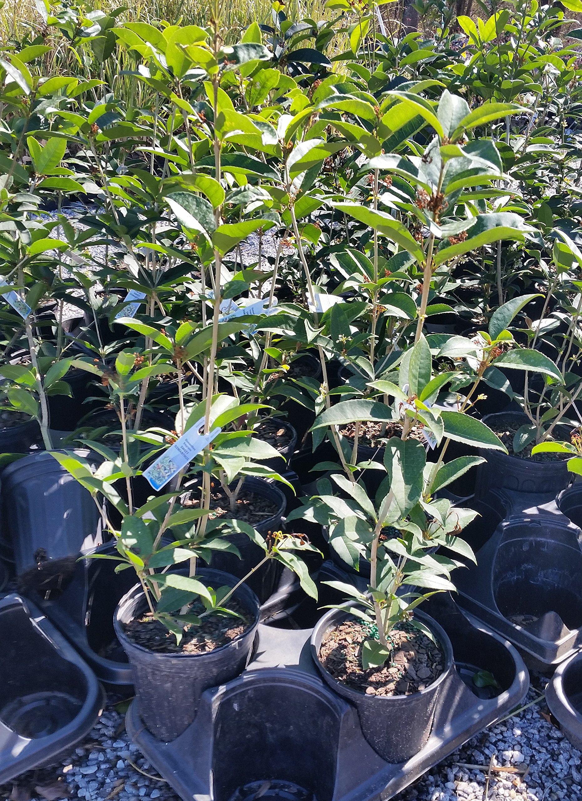 Fragrant Tea Olive (osmanthus fragrans) - Trade Gallon