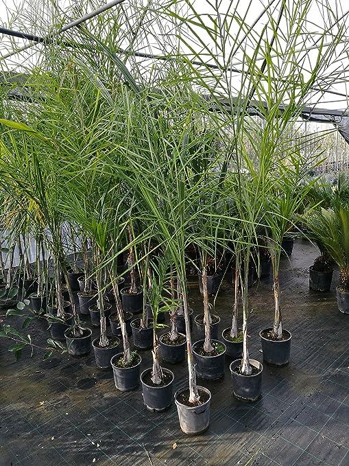 Prezzi palme da giardino latest di palme catalogo with for Vendita palme da giardino prezzi