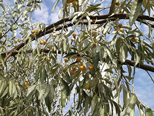 Image result for russian olive
