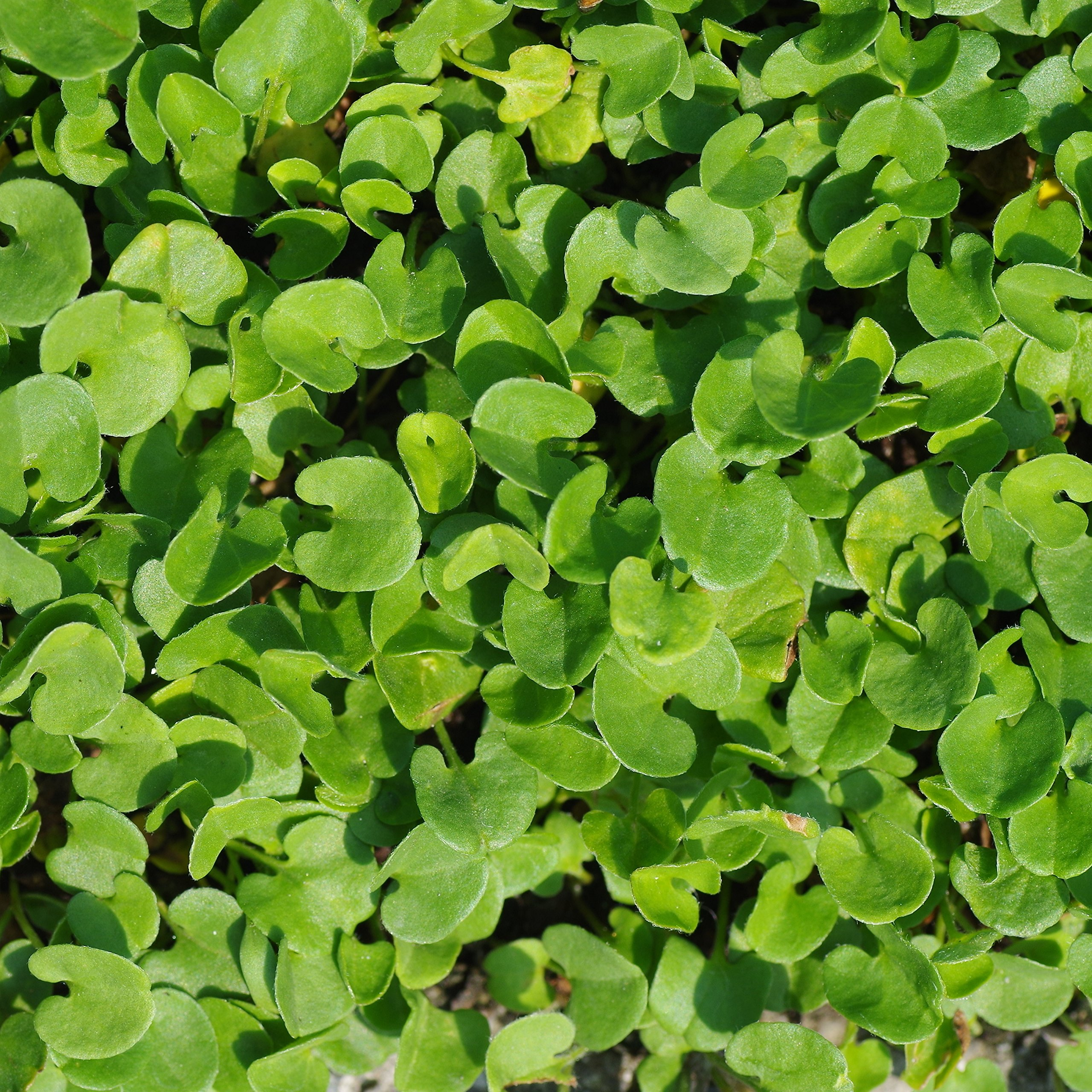 Outsidepride Dichondra Repens Ground Cover Plant Seed - 5 LB by Outsidepride (Image #2)