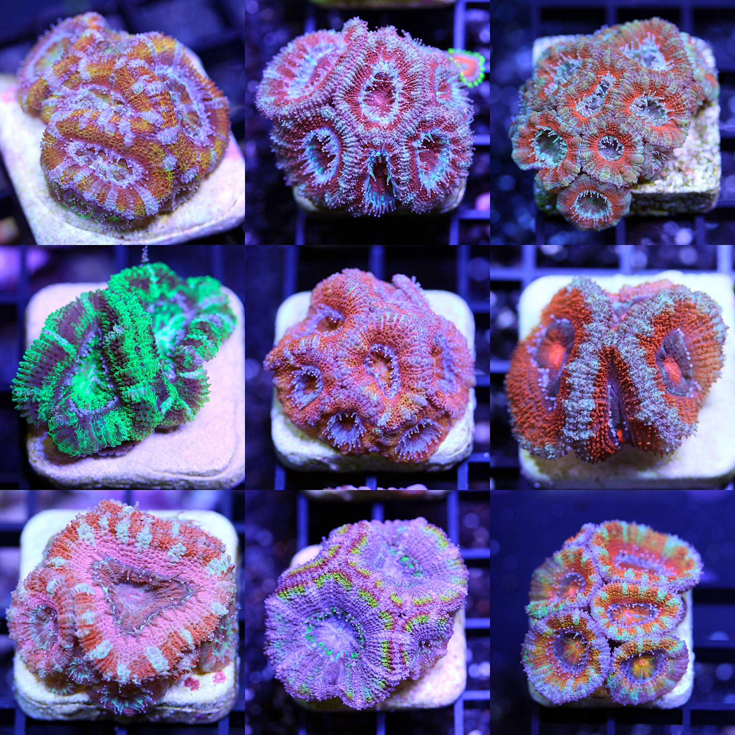 Acanthastrea 6 Frag Pack Live Coral Aquarium Reef Empire by Generic