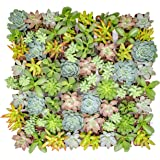 Altman Plants - Live Succulent Plants (64 Pack) Assorted Potted Succulents Plants Live House Plants in Cacti and…