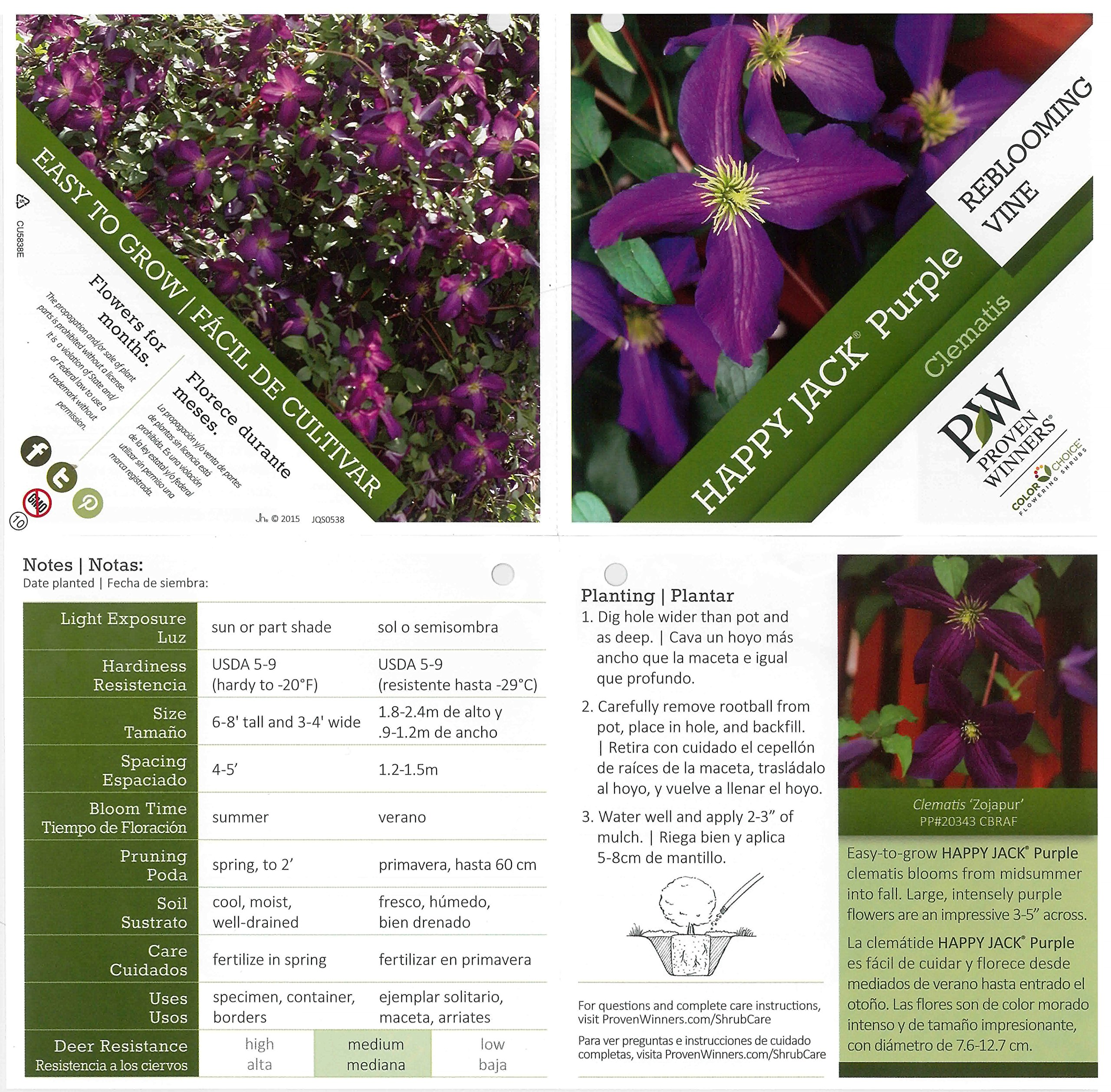 Happy Jack Purple (Clematis) Live Shrub, Purple Flowers,1 Gallon by Proven Winners (Image #3)