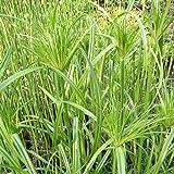 lichtnelke - Echter Papyrus ( Cyperus papyrus )