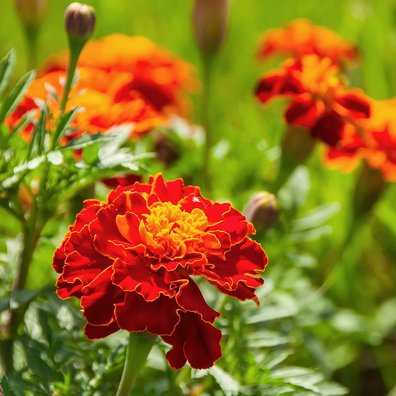 Amazon Com Outsidepride Red Marigold Plant Flower Seeds 1000