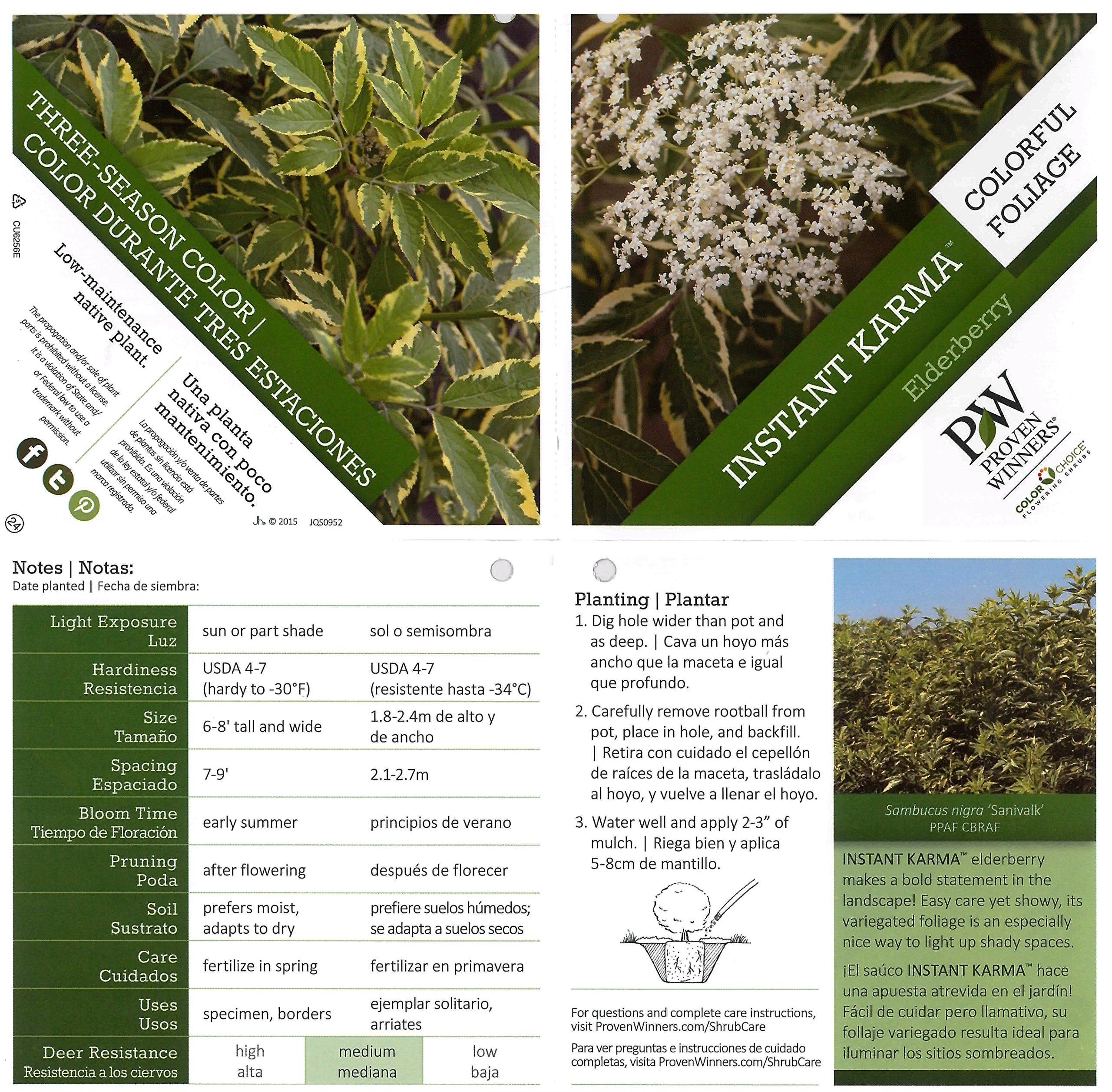 Instant Karma Elderberry (Sambucus) Live Shrub, White Flowers and Variegated Foliage, 1 Gallon by Proven Winners (Image #3)