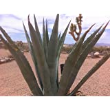 Agave Americana Blue Century Plant - Small (Live Bareroot Plant)