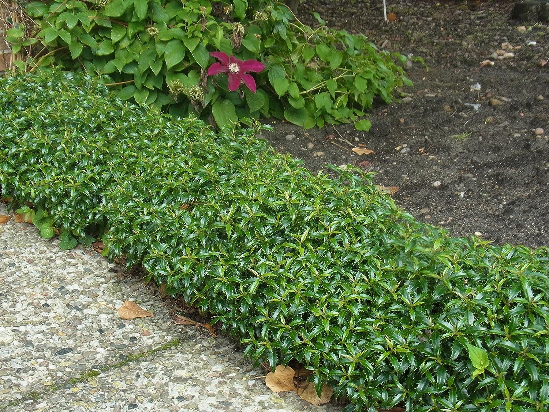 Zwerg Stechpalme Heckenzwerg Ilex aquifolium grün langsam