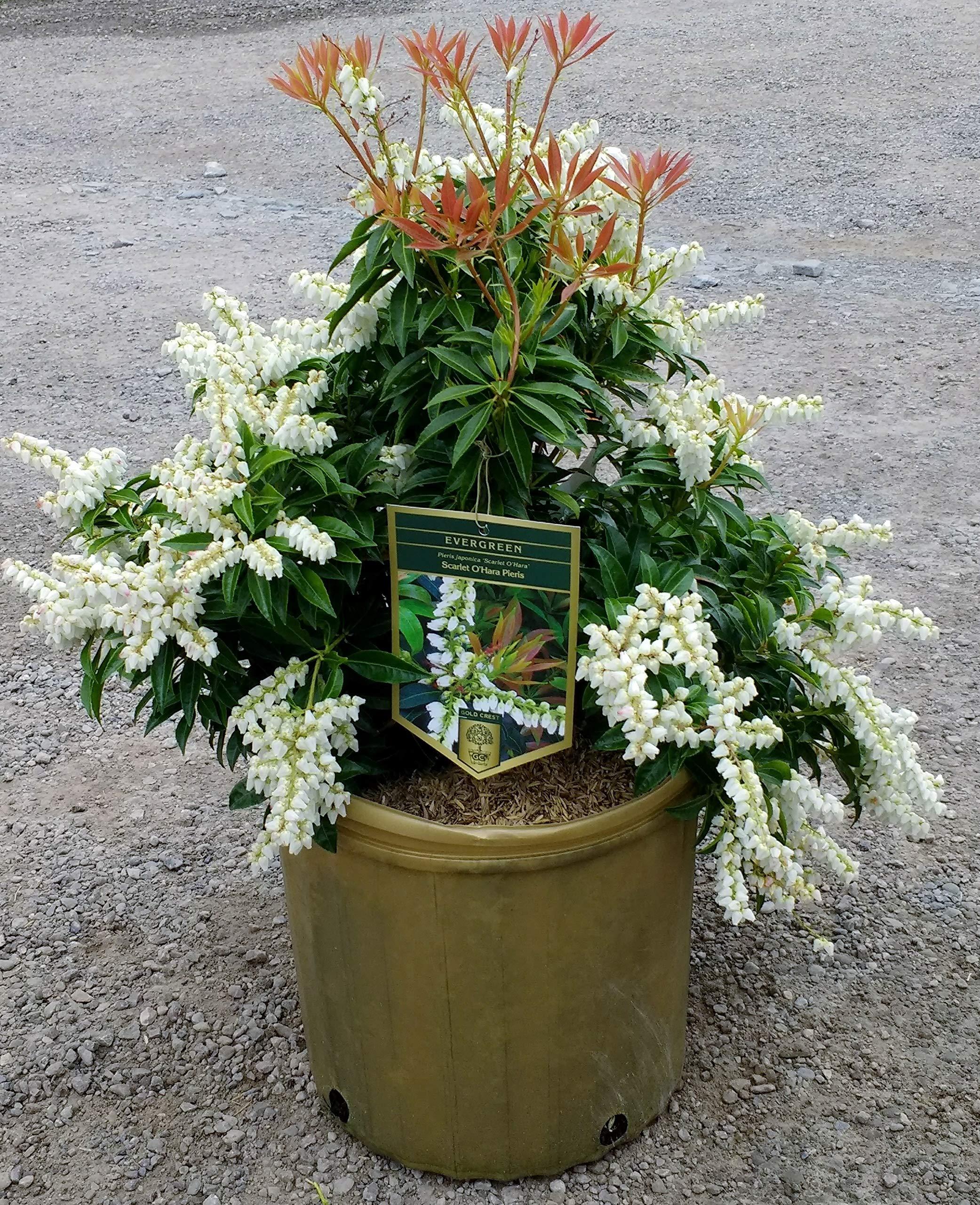 Scarlet O'Hara Japanese Pieris - Broadleaf Evergreen Shrub - 3 Gallon Pot