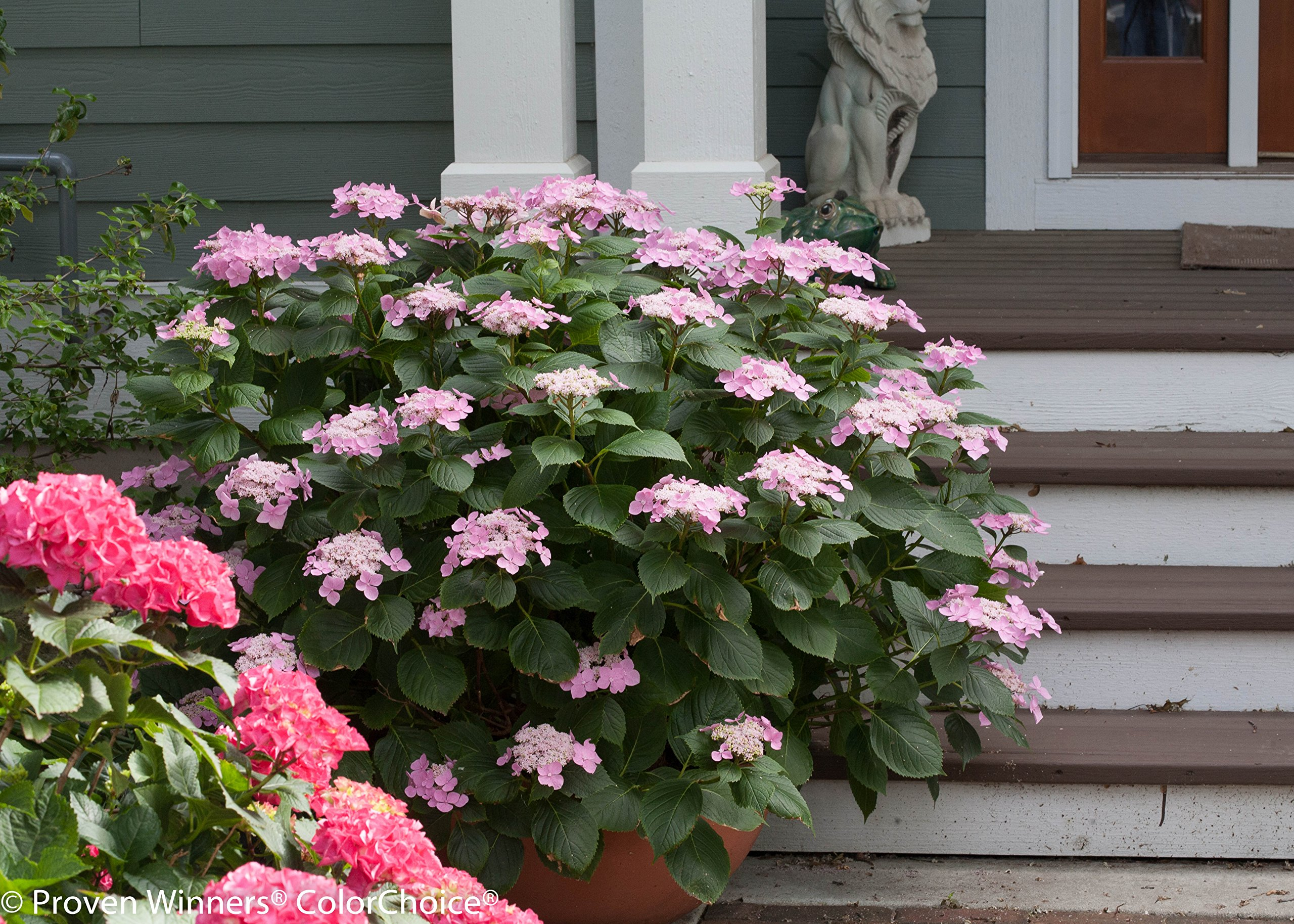 1 Gal. Let's Dance Starlight Bigleaf Hydrangea (Macrophylla) Live Shrub, Blue or Pink Flowers by Proven Winners (Image #7)