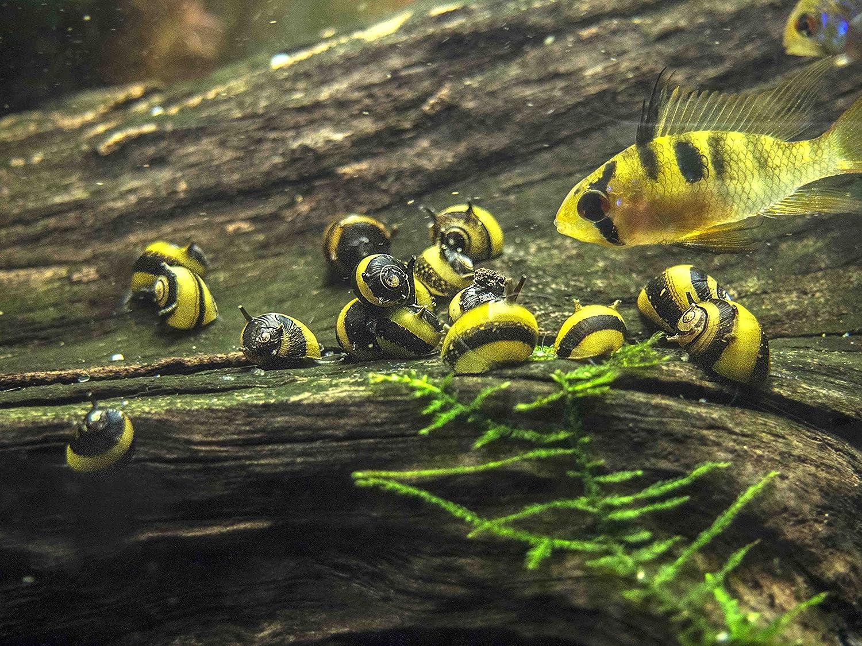 Nerite Snails: Algae Eating, Care, Lifespan, Eggs - Video