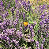 All Good Things Organic Seeds Vera English Lavender Seeds (~100): Certified Organic, Non-GMO, Heirloom, Open Pollinated Seeds from the United States