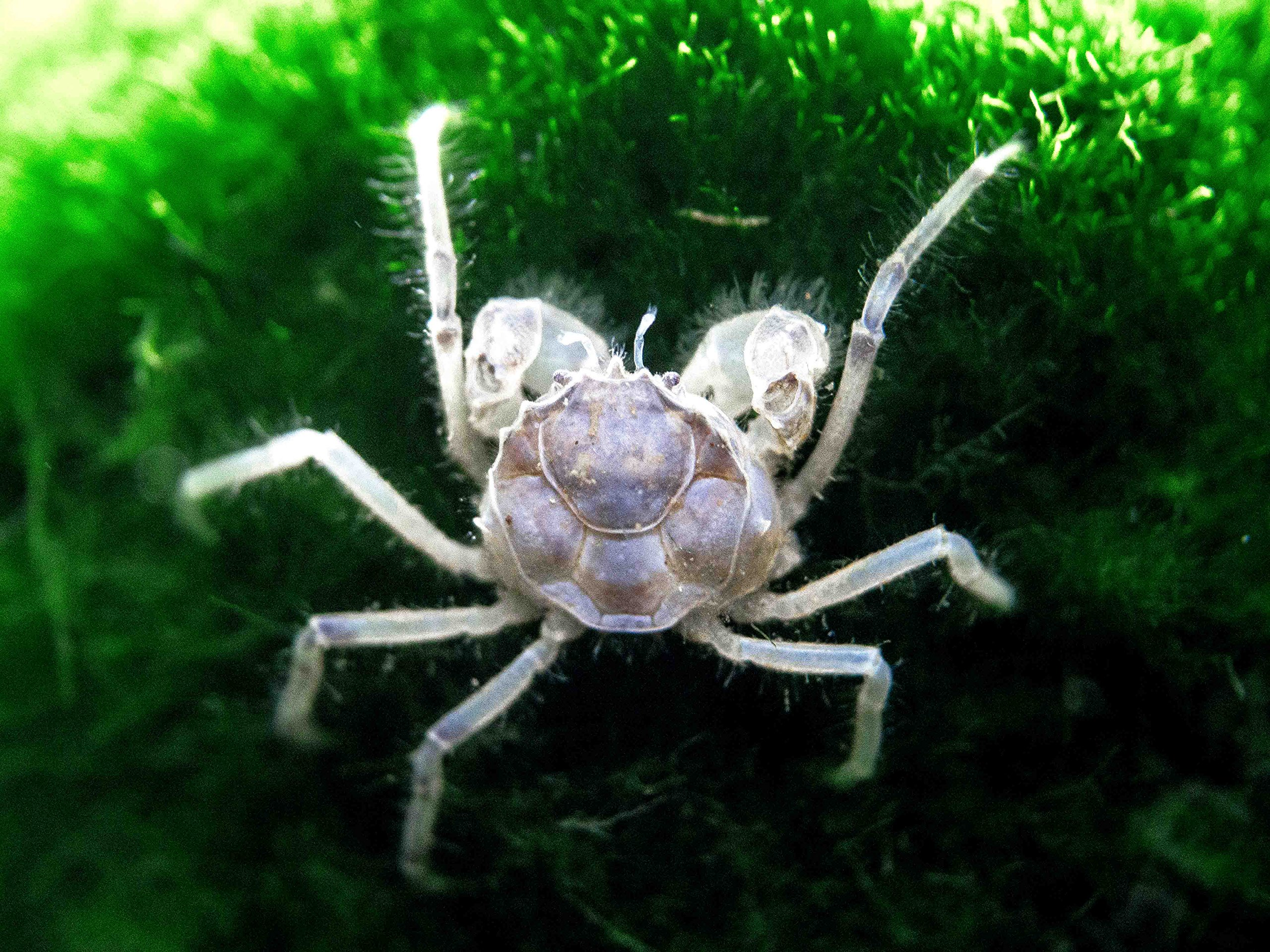 Amazon com: Aquatic Arts: Freshwater Crabs