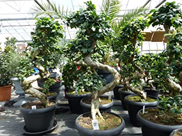 ficus ginseng pflege bonsai rckschnitt schere bonsai ficus xl ginseng pruning a ficus bonsai. Black Bedroom Furniture Sets. Home Design Ideas