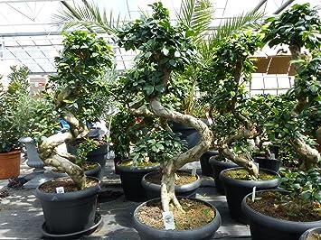 Bonsai Ficus Ginseng 90 120 Cm Im Dekotopf Untersetzer Zimmer