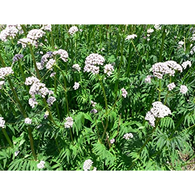 Seeds Herb Valerian Officinaclis perennials Heirloom : Garden & Outdoor