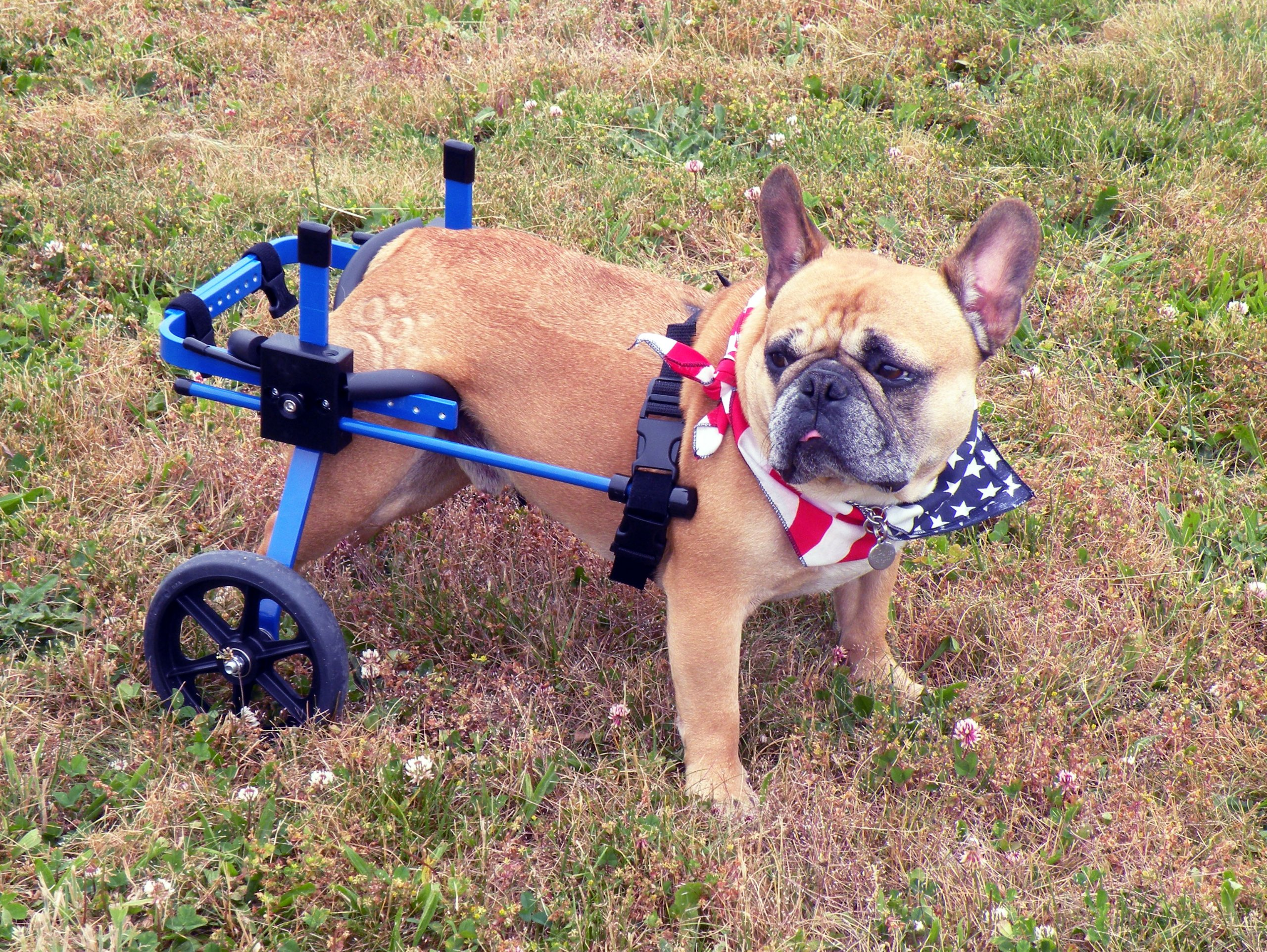 K9 Carts Rear Support Wheelchair (Small, White) - Made in the USA